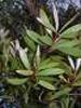 Eucalyptus à fleurs multiples,cryptone