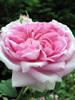 Rose de Damas: absolue
