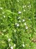 Sariette des jardins