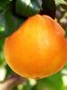 Orange douce, BIO