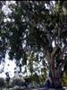 Eucalyptus globuleux BIO