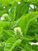 Basil, French-organic