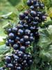 Black currant seed