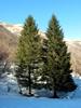 Balsam fir  CO