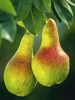 Pear: Aroma
