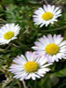 Daisy, common (infused Organic)