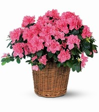 Blooming Plant  ($29.95 to $199.95)