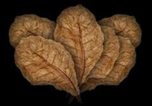 Indian Almond Leaves - 6