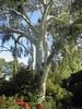 HE Eucalyptus citronné