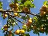 Huile de noyau d'abricot extra vierge