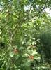 Org black alder