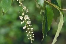 Cerisier tardif bio