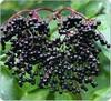 Org Elderberry