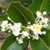 Huile de calophylle (Tamanu) bio