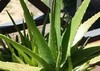 Aloe vera organic gel