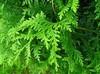 Hydrolat thuja bio